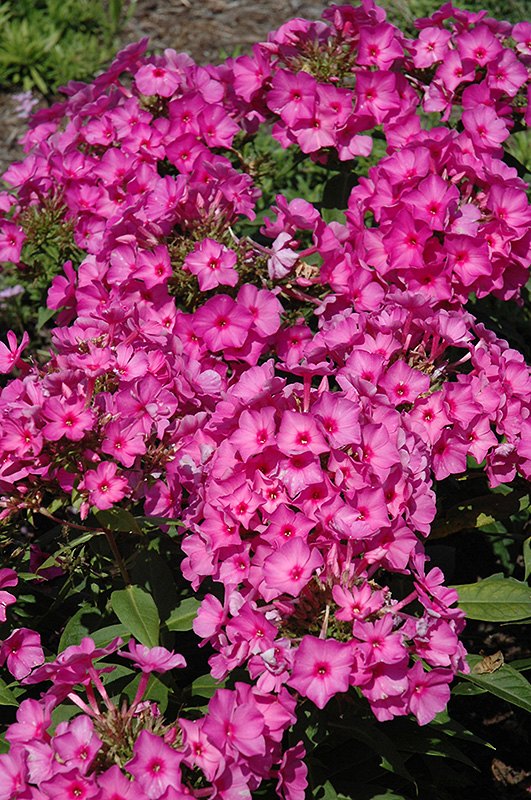 Flame Pink Garden Phlox Phlox paniculata Pink Flame