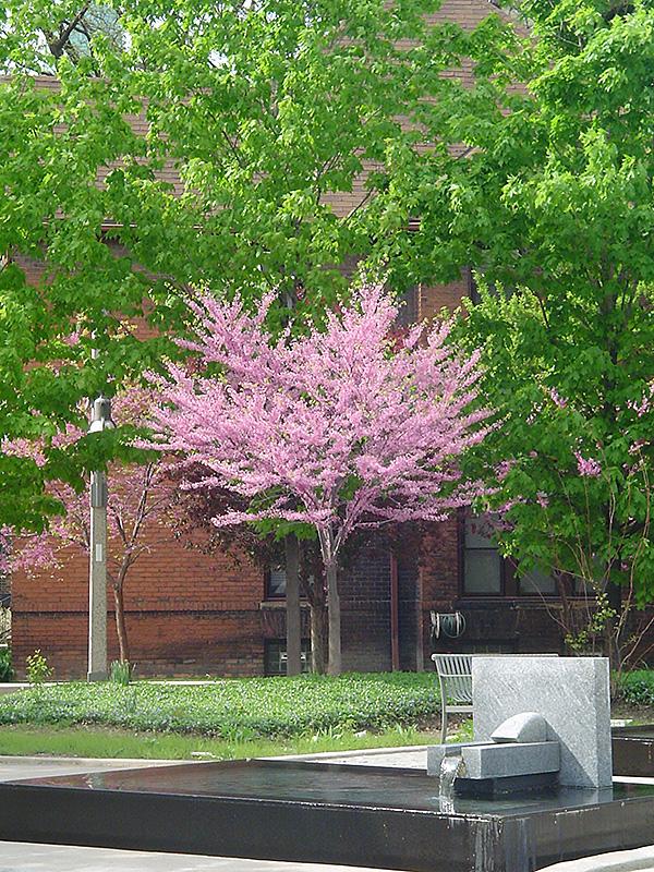 eastern redbud  tree form   cercis canadensis  u0026 39  tree form