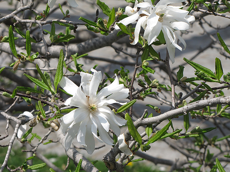 Royal Star Magnolia Magnolia Stellata Royal Star In Inver Grove