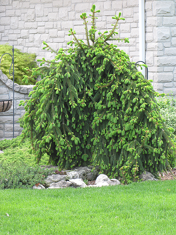 Weeping Norway Spruce Picea Abies Pendula In Inver