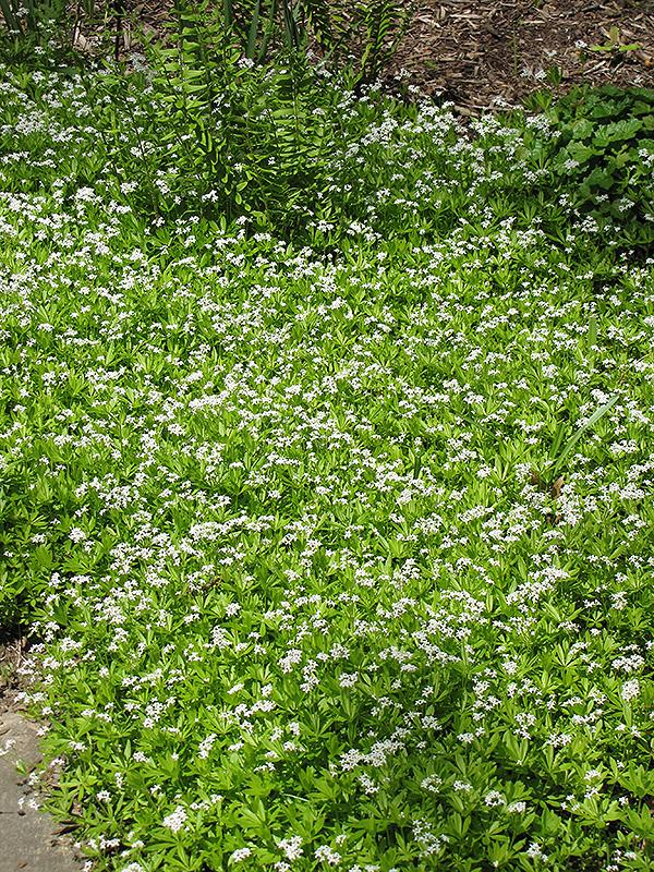 Sweet Woodruff Galium Odoratum In Inver Grove Heights