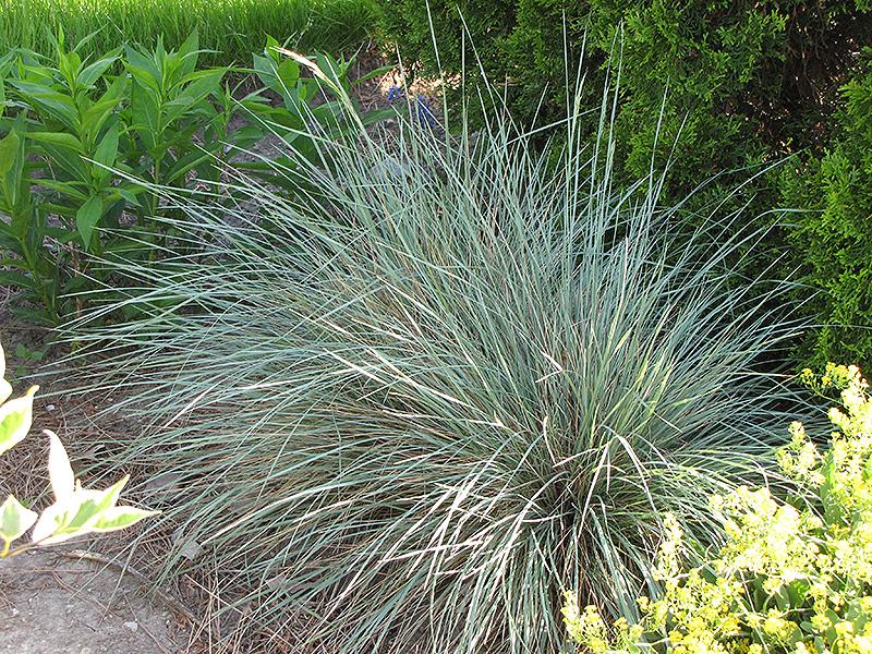 Sapphire Blue Oat Grass Helictotrichon Sempervirens