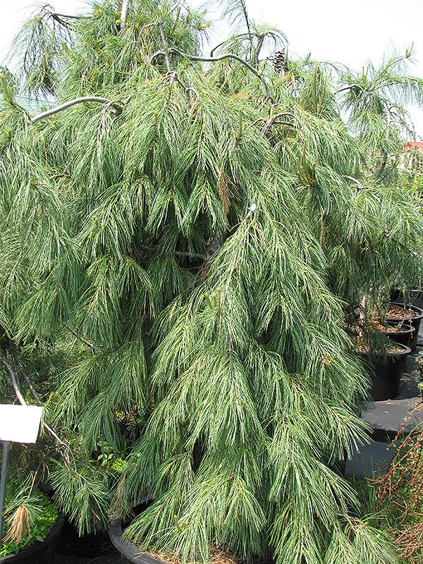 Weeping White Pine Pinus Strobus Pendula In Inver
