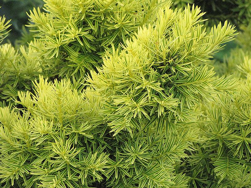 Golden Japanese Yew Taxus Cuspidata Nana Aurescens In