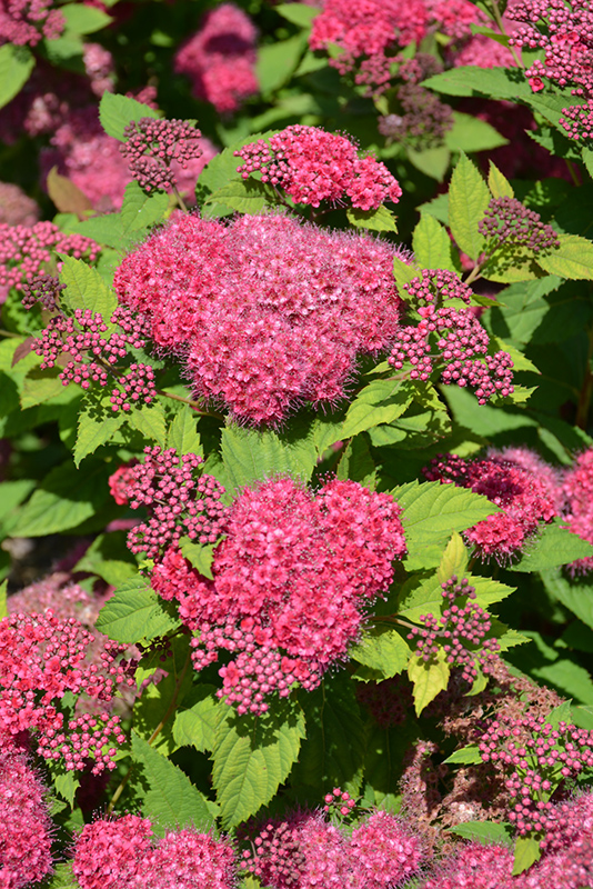 Double Play Red Spirea Spiraea Japonica Smnsjmfr In
