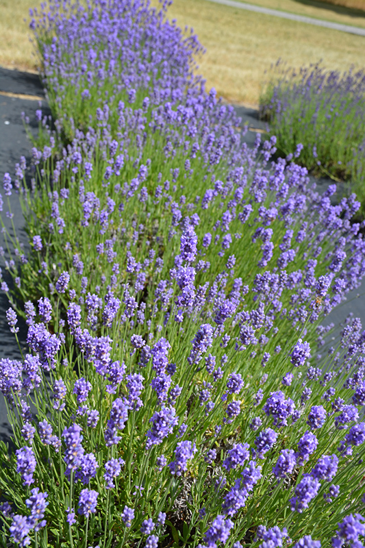Hidcote Blue Lavender Lavandula Angustifolia Hidcote