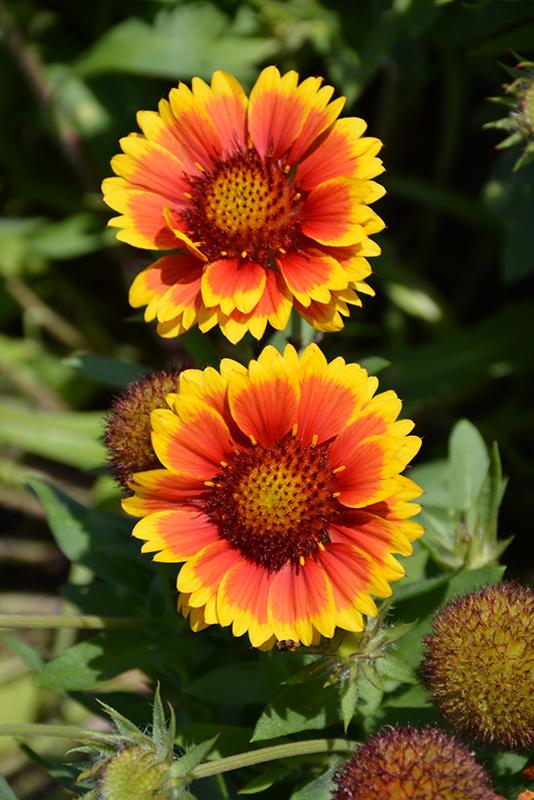 Arizona Sun Blanket Flower Gaillardia X Grandiflora Arizona Sun In Inver Grove Heights