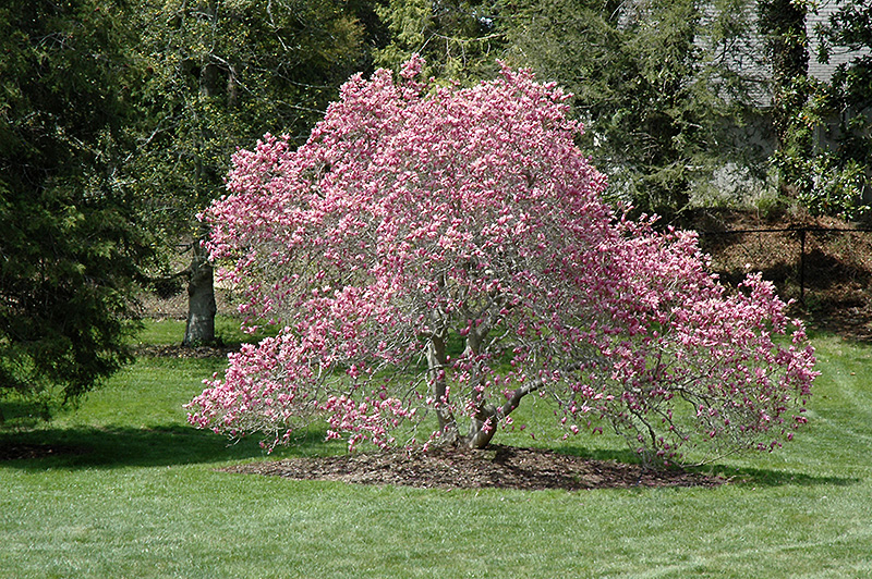 Ann Magnolia Magnolia Ann In Inver Grove Heights Minnesota Mn