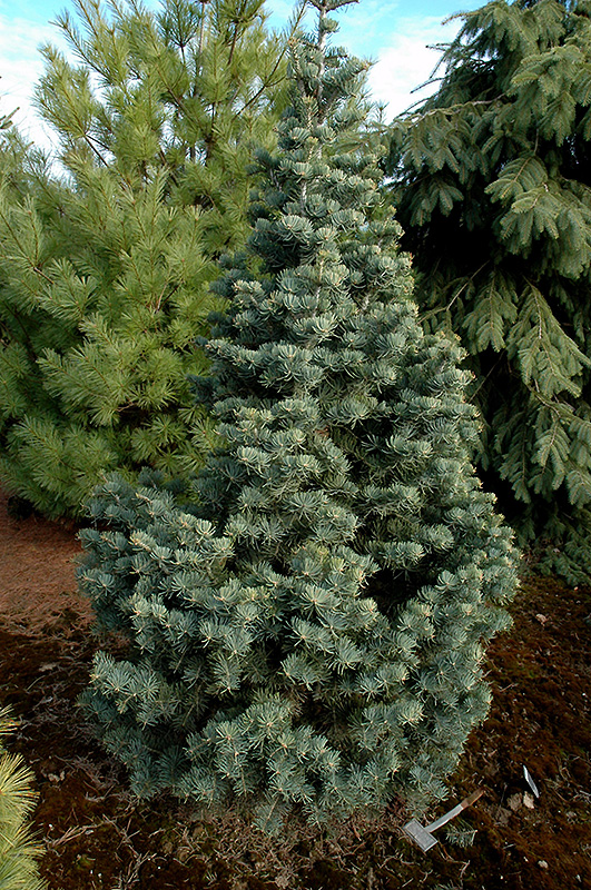 Compact White Fir Abies Concolor Compacta In Inver