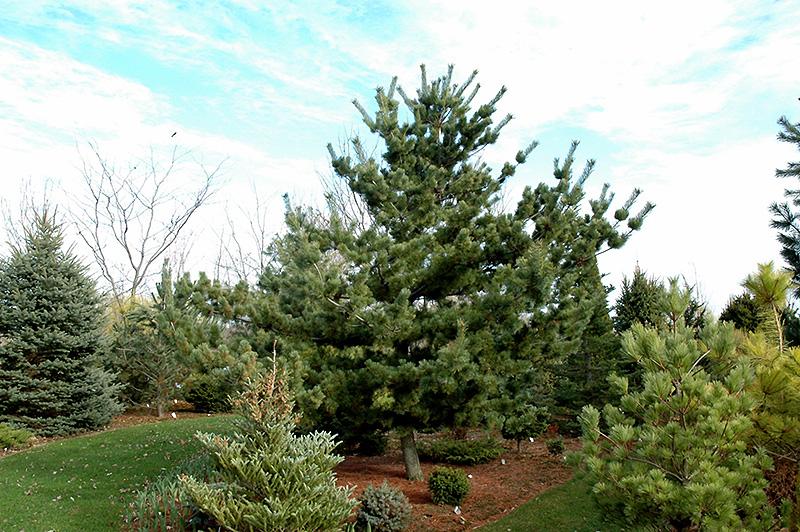 Tempelhof Japanese White Pine Pinus Parviflora Tempelhof