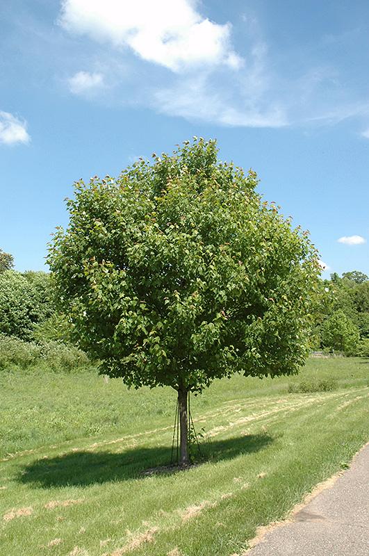 Northwood Red Maple Acer Rubrum Northwood In Inver