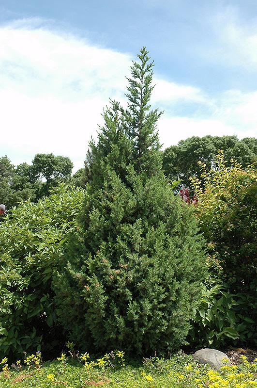 Star Power 174 Juniper Juniperus J N Select Blue In