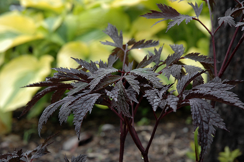 Shade Garden Vegetables Plants