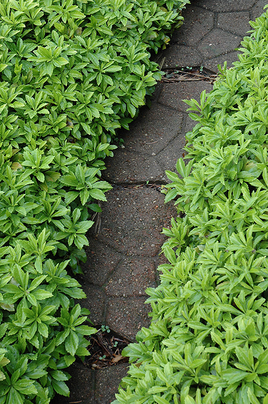 Roses In Garden: Green Carpet Japanese Spurge (Pachysandra Terminalis
