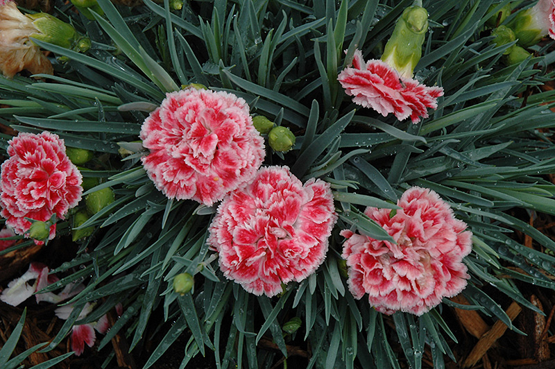 Coral Reef Pinks Dianthus Wp07oldrice In Inver Grove