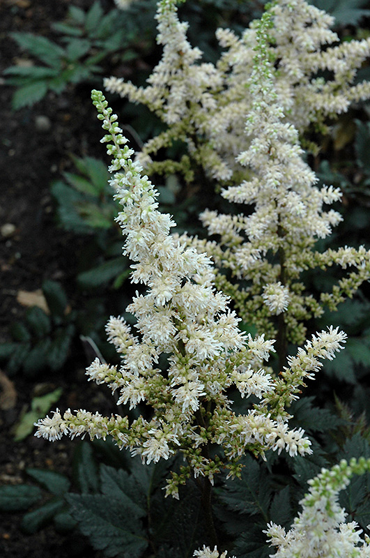 Vision In White Astilbe Astilbe Chinensis Visions In