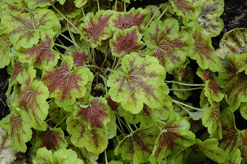 Solar Eclipse Foamy Bells Heucherella Solar Eclipse In