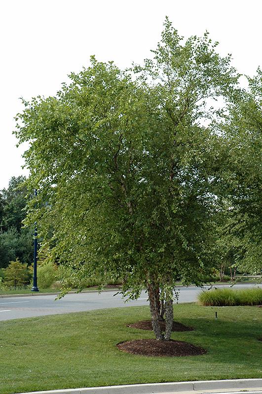 River Birch clump Betula nigra clump in Inver