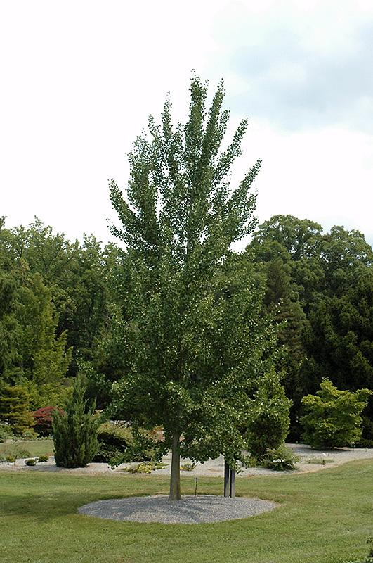 Best Lawn Fertilizer >> Magyar Ginkgo (Ginkgo biloba 'Magyar') in Inver Grove ...