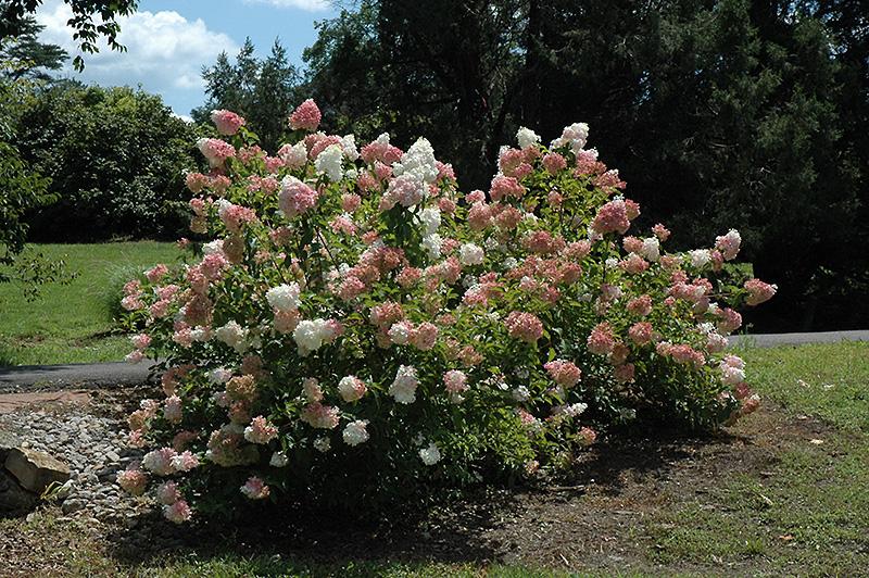 Best Lawn Fertilizer >> Vanilla Strawberry Hydrangea (Hydrangea paniculata 'Renhy ...