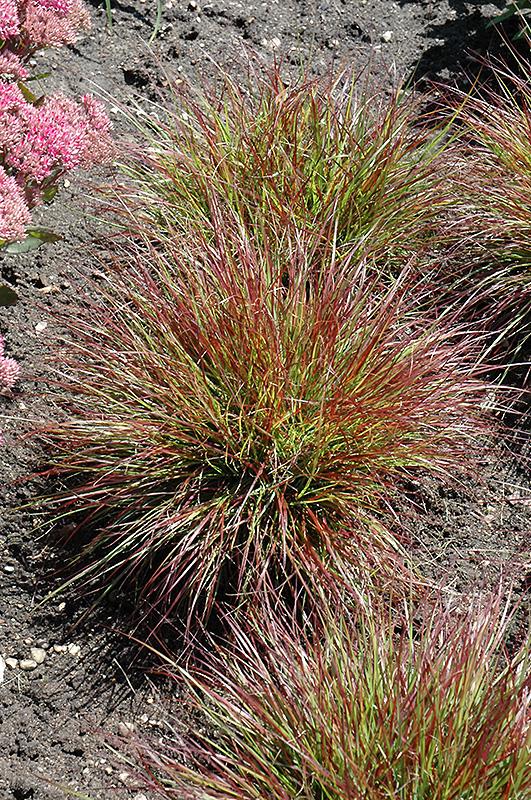 Burgundy Bunny Dwarf Fountain Grass Pennisetum
