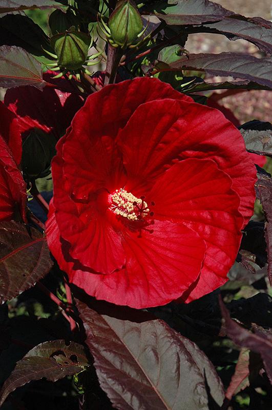Midnight Marvel Hibiscus Hibiscus Midnight Marvel In Inver Grove