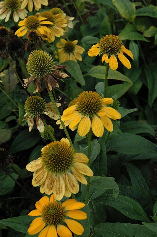 Sombrero 174 Lemon Yellow Coneflower Echinacea Balsomemy In Inver Grove Heights Minnesota Mn
