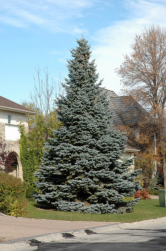 Baby Blue Colorado Spruce Picea Pungens At Gertens