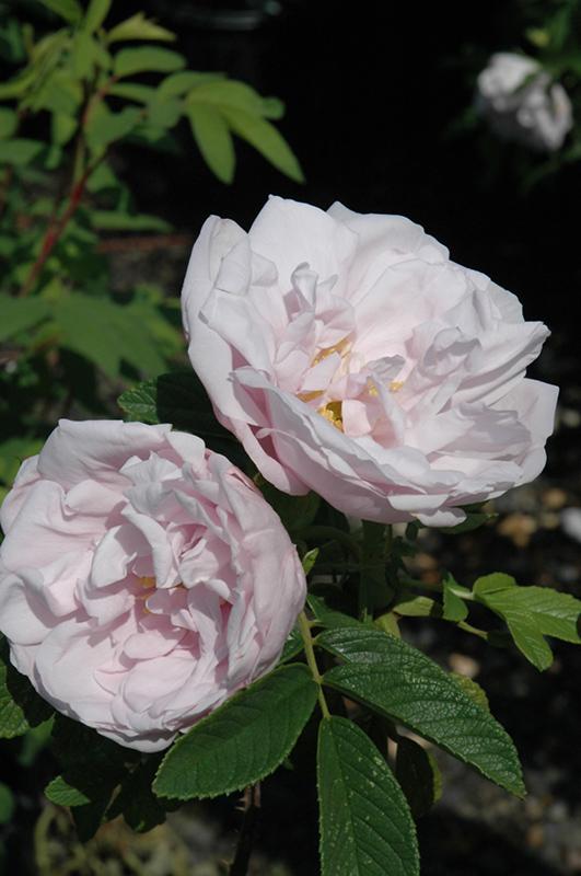 Snow Pavement Shrub Rose Rosa Snow Pavement In Inver Grove