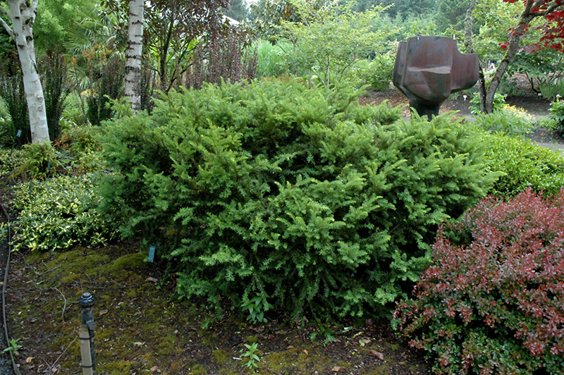 Taunton Spreading Yew Taxus X Media Tauntonii In Inver Grove
