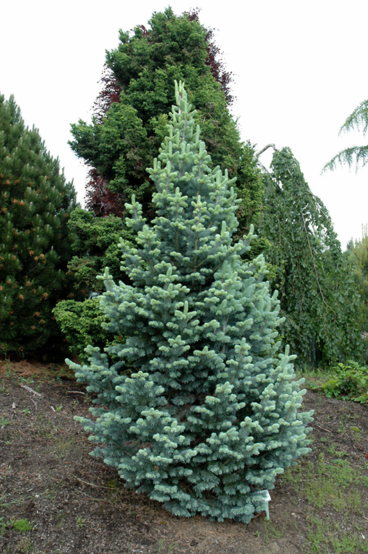 Best Lawn Fertilizer >> Compact Alpine Fir (Abies lasiocarpa 'Compacta') in Inver ...