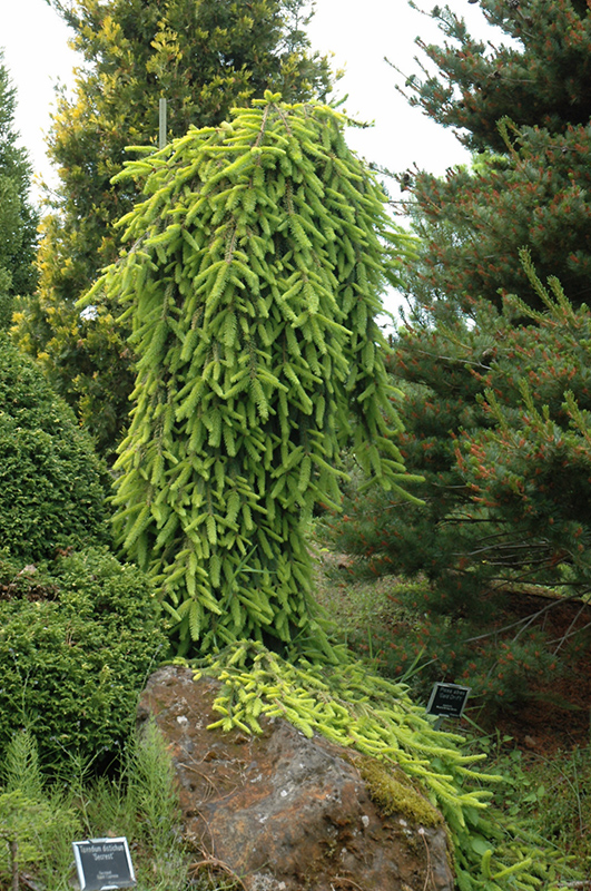 Gold Drift Norway Spruce Picea Abies Gold Drift In Inver Grove