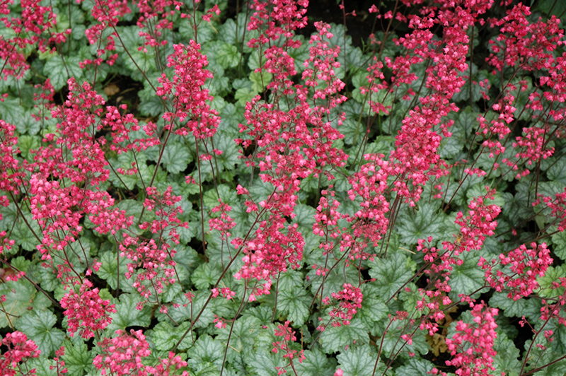 Paris Coral Bells Heuchera Paris In Inver Grove