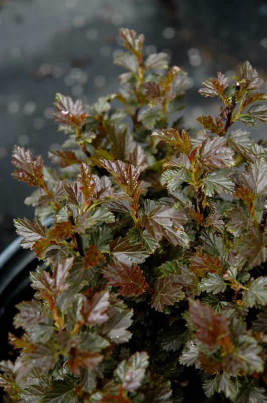 Tiny Wine Ninebark Physocarpus opulifolius SMPOTW in
