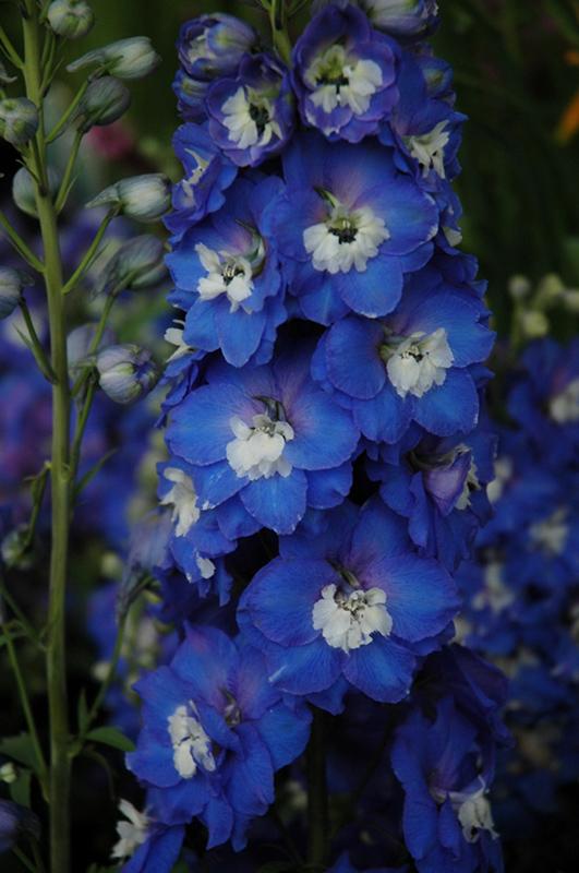Aurora Blue Larkspur Delphinium Aurora Blue In Inver
