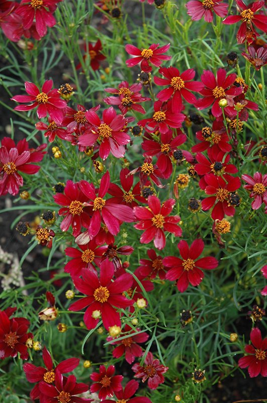 Best Lawn Fertilizer >> Red Satin Tickseed (Coreopsis 'Red Satin') in Inver Grove ...