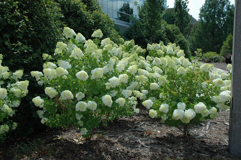 Limelight Hydrangea Paniculata At Gertens