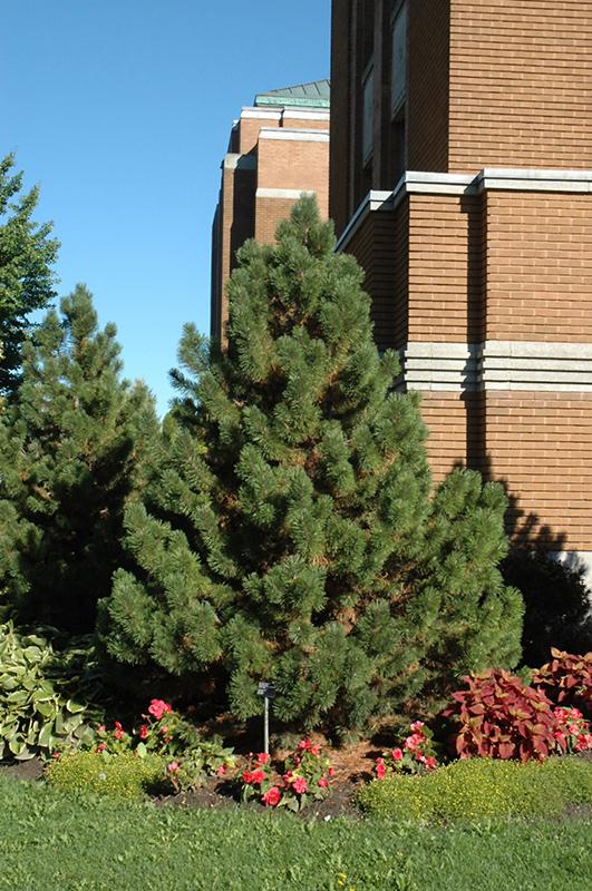 Tannenbaum Mugo Pine Pinus Mugo Tannenbaum In Inver