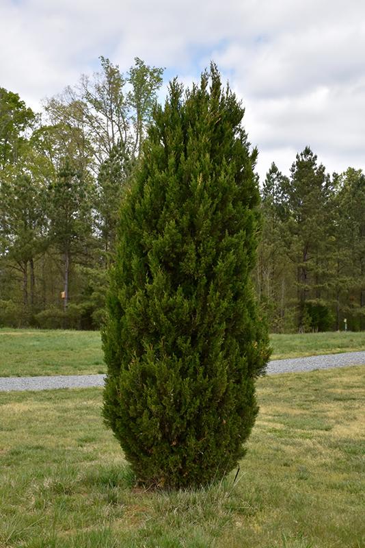 Spartan Juniper Juniperus Chinensis Spartan In Inver