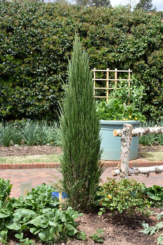 Blue Arrow Juniper Juniperus Scopulorum Blue Arrow In