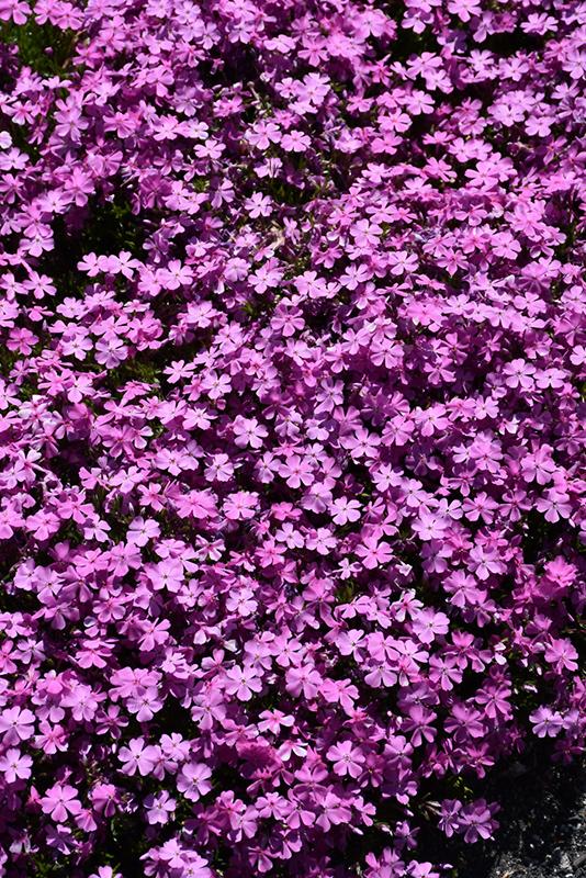 Best Lawn Fertilizer >> Emerald Pink Moss Phlox (Phlox subulata 'Emerald Pink') in ...
