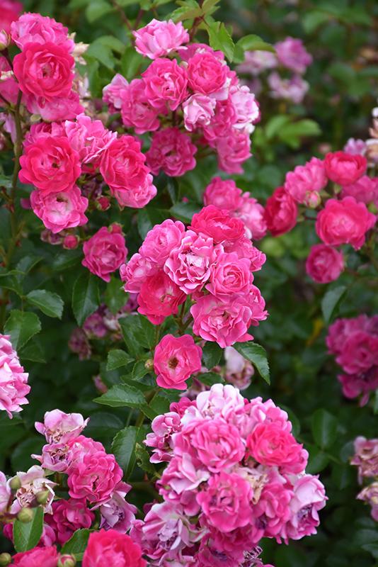 Best Lawn Fertilizer >> Little Mischief Rose (Rosa 'Little Mischief') in Inver Grove Heights, Minnesota (MN) at Gertens