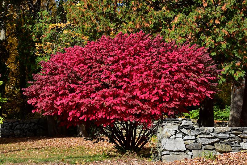 Winged Burning Bush Euonymus Alatus In Inver Grove