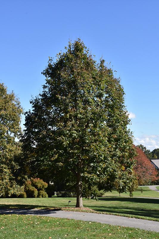 Redmond Linden Tilia Americana Redmond In Inver Grove
