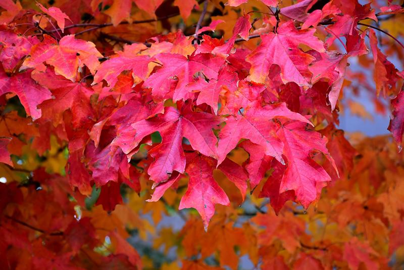 Fall Fiesta Sugar Maple Acer Saccharum Bailsta In Inver Grove