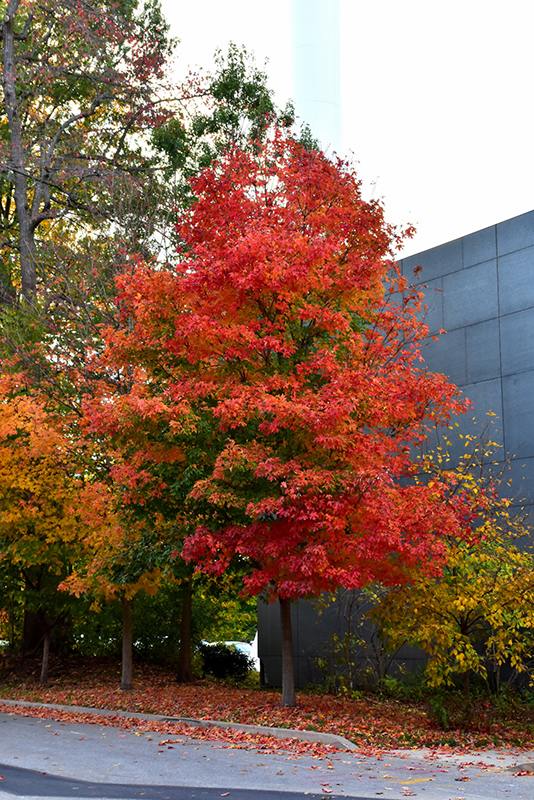 Fall Fiesta Sugar Maple Acer Saccharum Bailsta In
