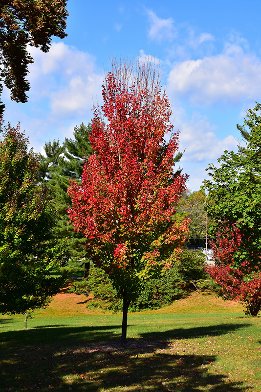 Red Rocket Red Maple Acer Rubrum Red Rocket In Inver Grove