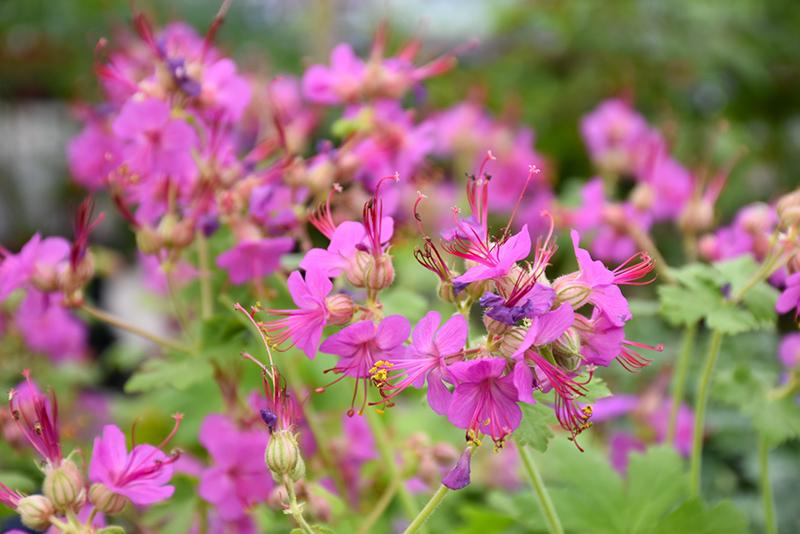Bevan S Variety Cranesbill Geranium Macrorrhyzum Bevan S