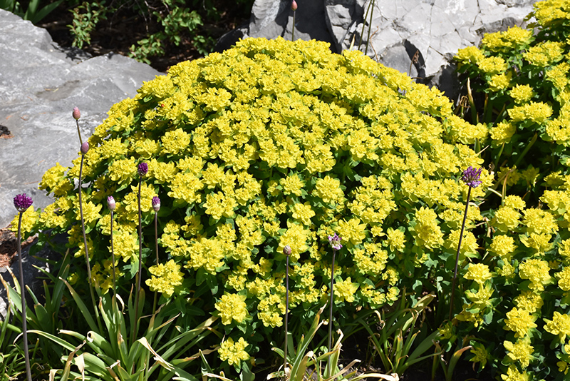 Cushion Spurge Euphorbia Polychroma In Inver Grove Heights