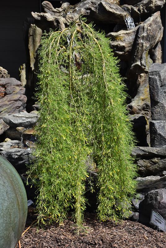 Walker Weeping Peashrub Caragana Arborescens Walker In